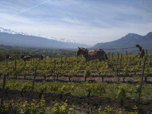 GP G Berlioz mule et chevaux